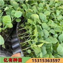 圆茄苗批发 黑宝茄子苗 早熟 果皮黑紫色 抗病性好 亿有种苗 根系发达