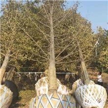 13公分白果树价格 26公分白果树价格 实生白果树价格
