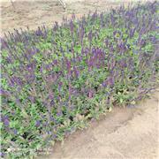 花海用鼠尾草 鼠尾草价格 蓝紫色花海 观赏性好