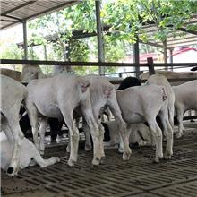 杜寒杂交三代羊 产肉多 生长发育快