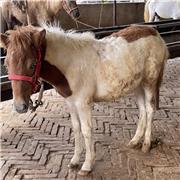 设特兰矮马活体 园区骑乘矮马 袖珍设特兰矮马 市场供应