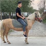易养殖矮马 袖珍宠物矮马 公园观赏矮马 长期出售