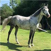 易养殖大马 成年高头大马 骑乘观光大马 长期销售