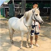 旅游景区矮马 观赏迷你矮马 易养殖改良矮马 长期供应